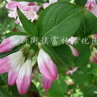 供应锦带花