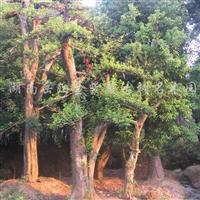 供应石楠古树