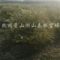 供应金边胡颓子、蓬型80cm-1.5m