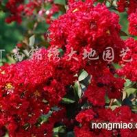 供应河南火红紫薇