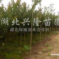 供应红叶石楠、栾树、红叶李、紫薇等灌木