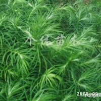 供应杉木苗1000万株和绿化苗木