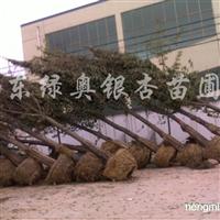 供应25cm银杏、30cm银、35-40公分银杏大树