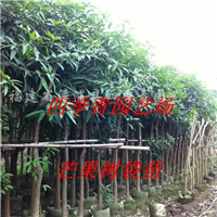 供应芒果树袋苗