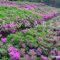 供应鸢尾草、红花葱兰、白花葱兰、麦冬草、吉祥草