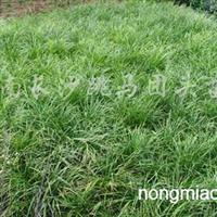 供应麦冬草