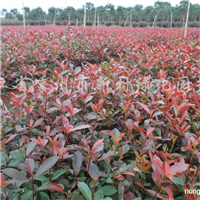 供应红中石楠小苗50万以上、h20-30