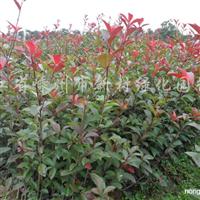 供应红中石楠小苗H70-120