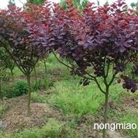 供应彩叶树种美国紫叶红栌小苗