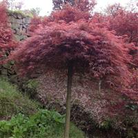 供应彩叶树种石榴红羽毛枫