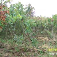供应美国红栌及各类绿化苗木