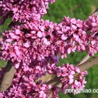 供应选育巨紫荆一年生苗以及米径3-20公分