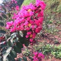 供应红叶紫薇