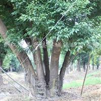 供应丛生香樟、朴树