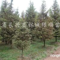 供应6-18公分水杉