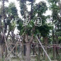 供应各种规格芒果树