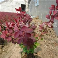 供应金叶水蜡、紫叶小檗、红叶李等容器苗