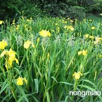 供应黄菖蒲、水葱、香蒲、芦苇等水生植物