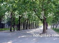 供应梧桐树、辽宁梧桐树、东北梧桐树