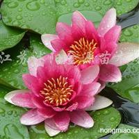 供应芦苇、红花睡莲、睡莲、等水生植物