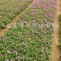 供应马樱丹(紫、黄、红花)、葱兰
