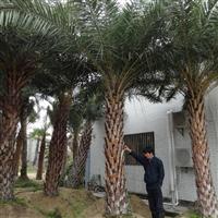 供应3米-5米高中东海枣