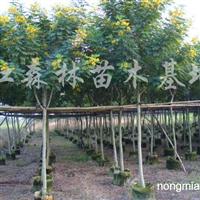 供应黄花槐、凤凰木、火焰木、木棉树、腊肠树、苏铁