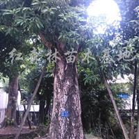 供应移植芒果树