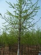 供多规格银杏苗木