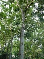 供应香樟、榉树、朴树等大树品种