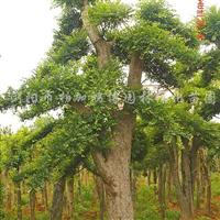 供应榆树、金叶榆