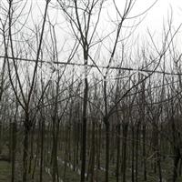 供应5-12公分重阳木