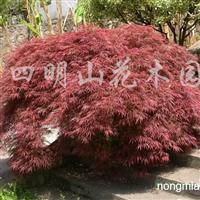 供应5-8公分红羽毛枫、5-15公分樱花