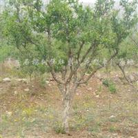 供应12公分石榴树、绿化石榴树