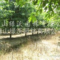 供应米径14-16公分大叶榕、黄葛树