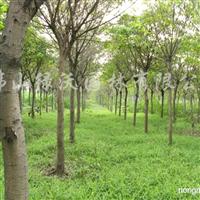 供应米径17-19公分大叶榕、黄葛树