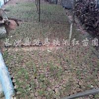 供应一年生红豆杉地苗、营养钵苗