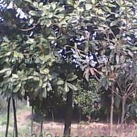 供应大叶女贞、广玉兰、黄山栾树、法桐、七叶树、桂花