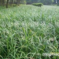 供应红花酢浆草报价、葱兰、美人蕉、麦冬