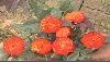 供应红帽月季金边黄杨、红叶小檗、小叶女贞