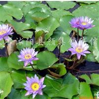 供应水生植物