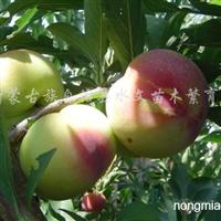 供应刺槐种子、皂角种子、李子苗、马莲种子、火炬树种子
