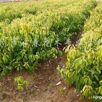 供应一年生鸡爪槭、杜英、速生紫薇、三角枫