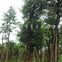 供应重阳木