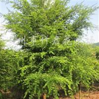 供应苦丁茶树、红豆杉树