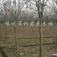 供应黄山栾树