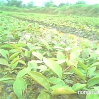 供应大果红花油茶苗(软枝)