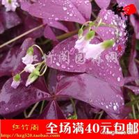 供应紫花幸运草、紫蝴蝶三叶草、紫叶酢浆草