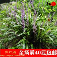 供应地被植物绿植、花卉庭院盆栽、金边麦冬麦