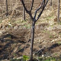 供应青白扦、樟子松、山榆、水曲柳、紫叶李